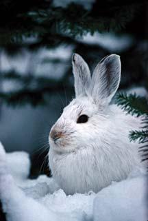 Snowshoe Hare // Cubelets Robotics