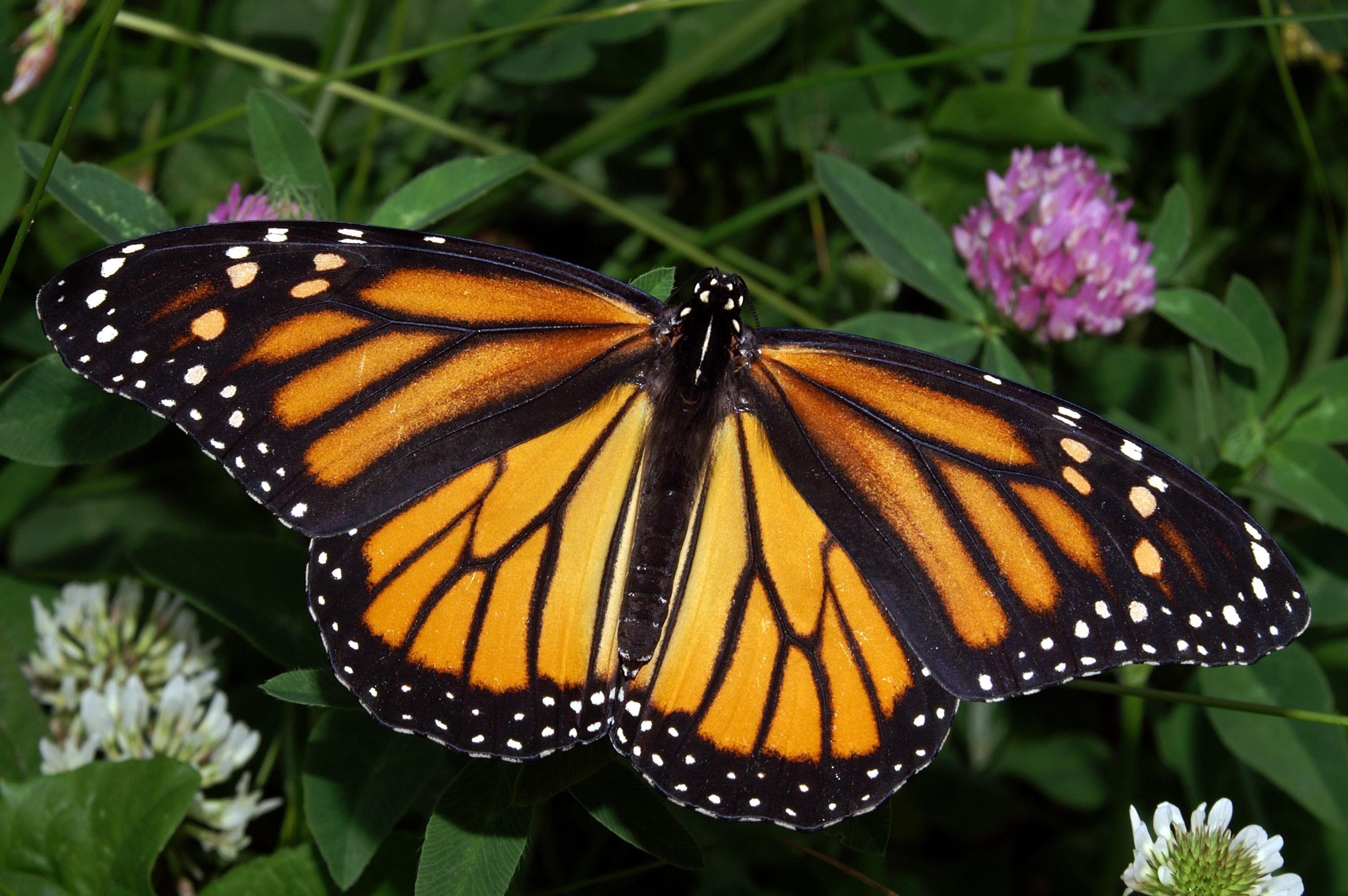 Monarch Migration // Better Batteries