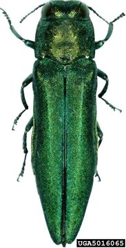 emerald ash borer, courtesy Encyclopedia of Life