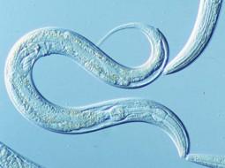 C. elegans worm