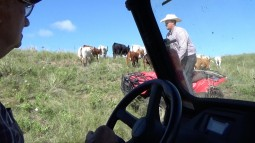 "Using ATVs as ""wolves"" to move a herd of cattle"