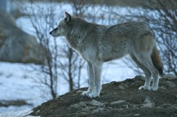 Wolf Gaze courtesy Carl Safina