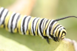 Monarch larvae Photo credit: Jonathan Lundgren