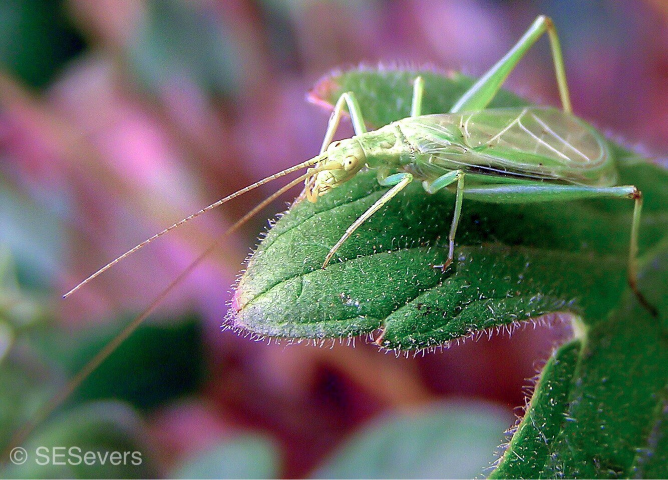 Cricket Chorus // Foliage Science