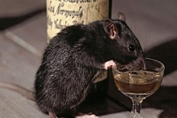 Drinking in Rats