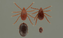 Brown Dog Ticks