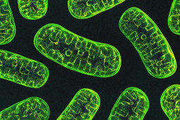Can Covid-19 Affect Your Mitochondria?