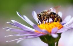 Honeybees: Biology & Conservation