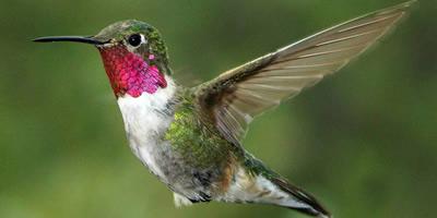 2018-broad-tailed-hummingbird
